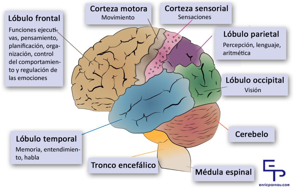 Bases neurológicas del rendimiento deportivo | Enric Parnau psicologia